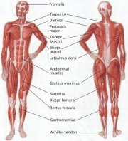 human-body-muscle-diagram